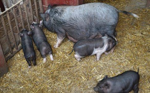 神奈川県の野生のイノシシが家畜伝染病『豚熱CSF』で死亡